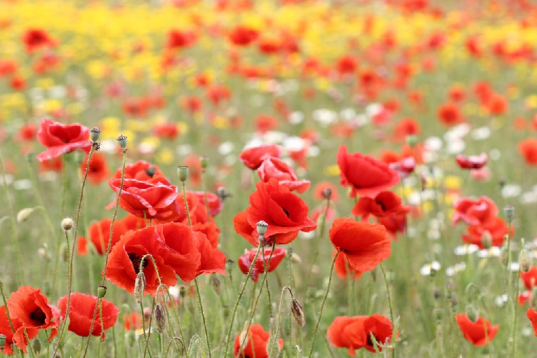 Poppies are a symbol of the Armistice of World War I. I have signed an armistice with my errors.