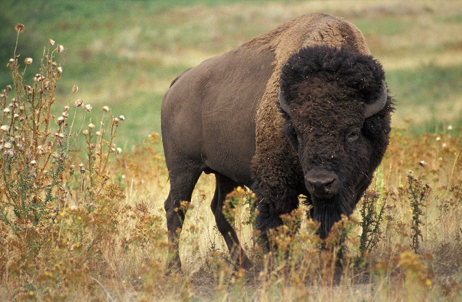 American bison. Streaming and creeping in the gathering darkness