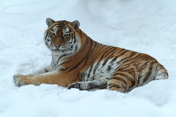 Amur-tiger Who will sing the Amur Tiger's song?