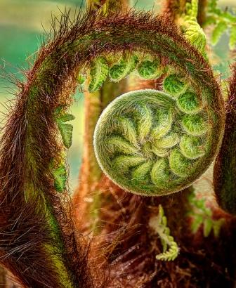 unfurling fern frond