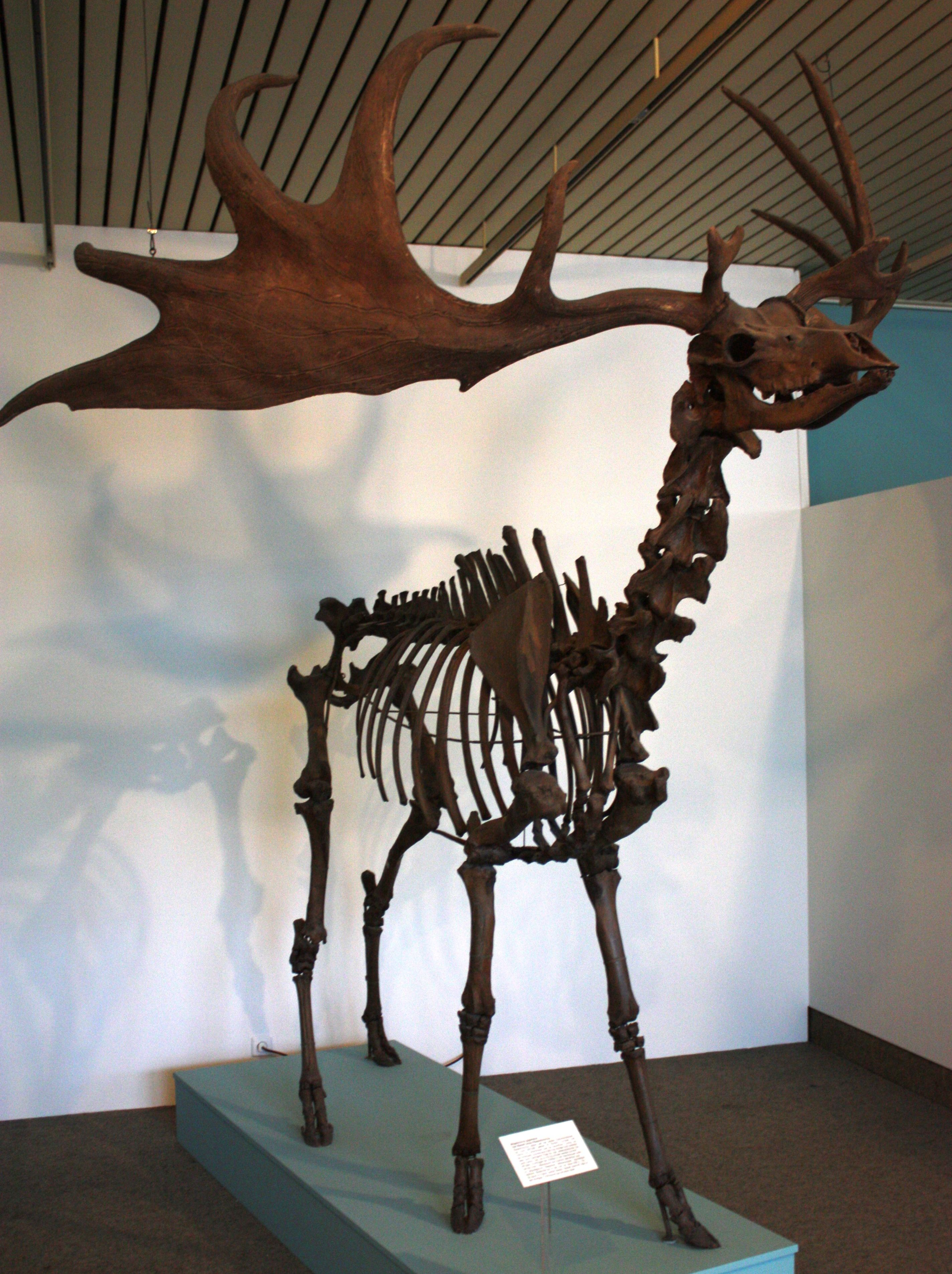Irish-Elk-Skeleton. Streaming and creeping in the gathering darkness