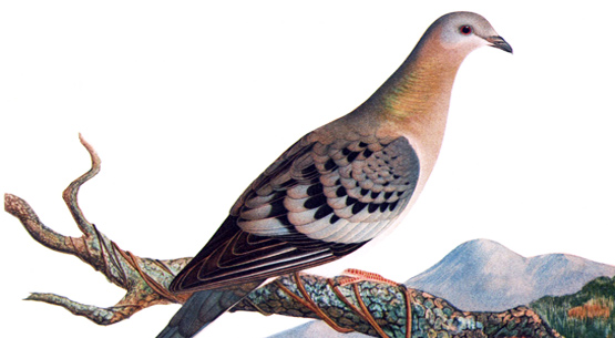 passenger pigeon. Streaming and creeping in the gathering darkness