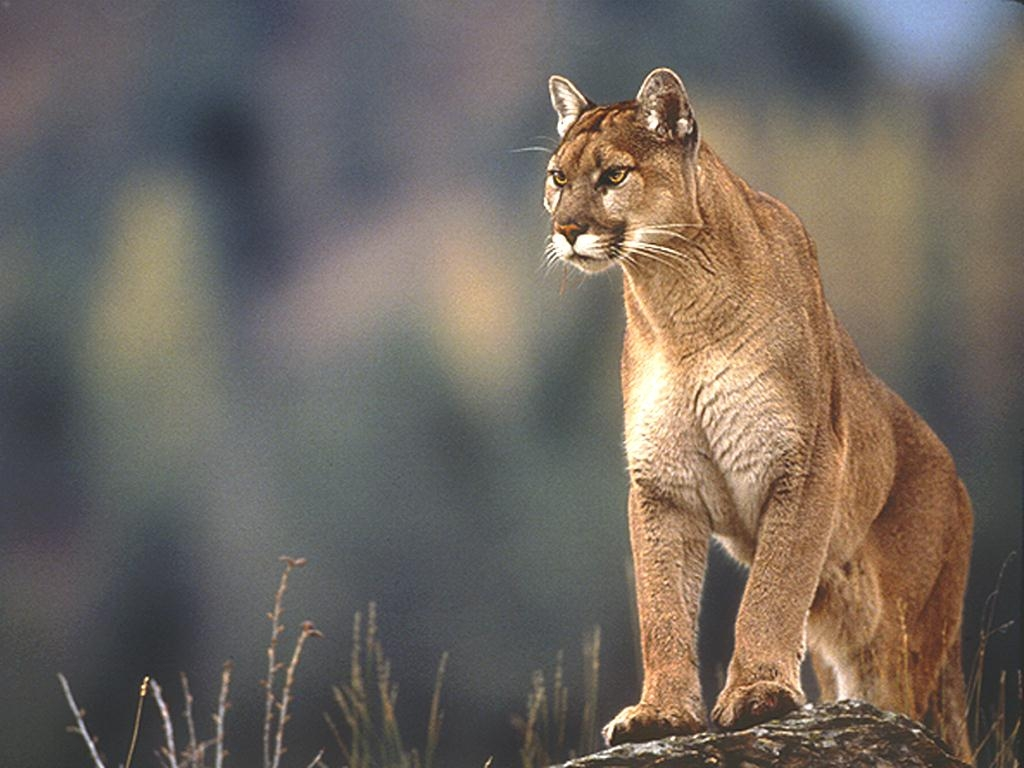 Eastern-cougar Should you speak, sing the eternal farewell?
